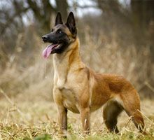 One of four varieties of Belgian sheep herding dogs, Belgian Malinois are highly regarded for their ability to perform in dangerous situations. Smartest Dog Breeds, Dog Breeds List, Large Dog Breeds, Malinois Belga, Pastor-belga Malinois, Malinois Shepherd, War Dogs, Military Working Dogs, Military Dogs