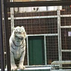 Yup, that's a big cat from the Big Cat Habitat in Sarasota, Florida.