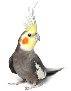 Lost Bird - Cockatiel - Saint Catharines, ON, Canada L2N 3Y3