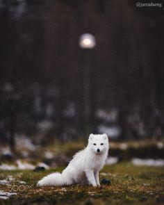 Arctic Fox - www.instagram.com/jarradseng www.jarradseng.com