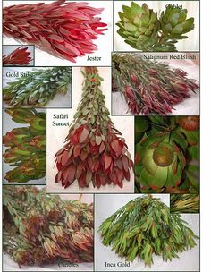 Leucadendron varieties -- a member of the protea family. Great look with tropical flowers or in a rustic bouquet!