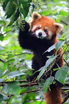 Red Panda ~ Photographed by China Expedition Leader Brad Josephs Panda China, China China, Red Panda Cute, Panda Kawaii, Wild Panda, Panda Wallpapers, Animal Wallpaper, Little Red, My Animal