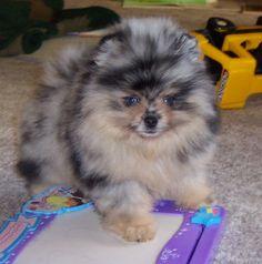 Blue & tan Merle Pomeranian puppy