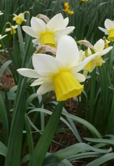 Lapwing daffodil. Division 5.