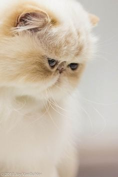 Persian...I am in love with this smushy face!