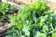 carrot and broccoli plants growing in a wooden garden section