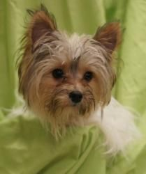 Rocky is an adoptable Yorkshire Terrier Yorkie Dog in Toledo, OH. All Planned Pethood dogs and puppies are altered (spayed/neutered) and fully vetted prior to adoption. Dog breed is a best guess by th...