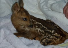 Baby Deer on the mend after rescue from field.