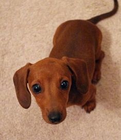 I SO want a cutie like this one! Awh! #Dachshund