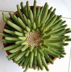 Euphorbia esculenta: