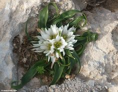   P   Androcymbium rechingeri - This rare flower only grows in a few parts of Crete.