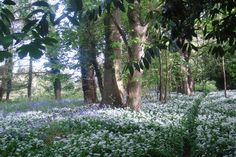 Snowdrops and Bluebells at Deer Park Country Hotel, Devon.