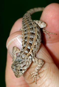 ˚Spiny Lizard (Sceloporus zosteromus monserratensis)