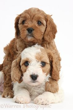 Photograph of Cute red and red-and-white Cavapoo puppies, 5 weeks old, hugging. Rights managed white background Dogs image. Cute Dogs And Puppies, I Love Dogs, Pet Dogs, Doggies, Cute Baby Animals, Animals And Pets, Cavapoo Puppies, Cavachon, Goldendoodles