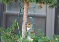 Checking the decorations Christmas Squirrel, Bird Feeders, Outdoor Decor, Squirrels, Decorations, Nice, Home Decor, Animals, Homemade Home Decor