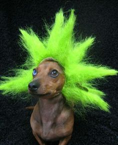 Dachshund punk....You poor thing, who did this to you!