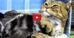 Mama Cat Hugs Her Baby Kitten