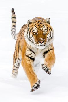 siberian-tiger-by-mike-centioli