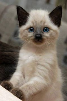 I'm about to get a Himalayan kitten for my birthday and all I can think about is kittens!