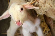 Peek-a-boo! #lambs