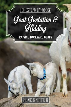 Goat Gestation and Kidding [Chapter 7] Raising Goats Homestead Handbook | Try Many Types Of Farming For You And Your Homestead