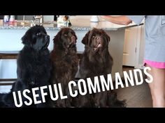 command for dog training - Expert Consultancy Concerning How To Care For Your Pet Furry Tails, Dog Whisperer, Best Dog Training, Aggressive Dog, Puppy Face, Dog Behavior, Dog Owners, I Love Dogs, Best Dogs