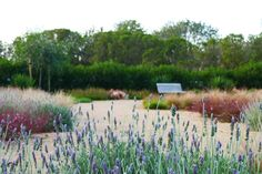 A sandstone gravel mulch provides the base for this lavender and grasses garden.