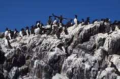 Nesting time at the Farne Islands