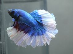 live-Tropical-Fish-blue-white-Butterfly-Rosetail-halfmoon-betta-B23