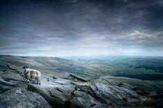 Sheep atop Kinder Scout, Peak District National PArk, Derbyshire, England, UK www.tonyeveling.com
