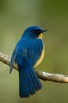 Tickle's Blue Flycatcher