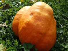 Learn the backstory of the carved pumpkin, and how to go about growing your own giant pumpkin, this growing season.