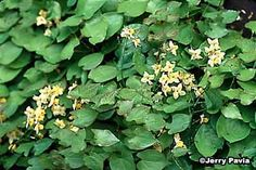 "Perennial Flowers: I think all the ""worts,"" Barrenwort included, is the shade gardeners best bet for early spring color and leaf interest."