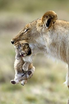 Mother lion and cub #BigCatFamily