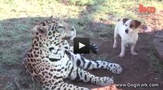 Jack Russell Terrier and Jaguar are Best Friends