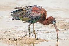 Een #zwarte #ibis #Lauwersmeer #Kollumerwaard.