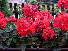 ako prezimovať muskaty cervene - My site Red Geraniums, Backyard, Garden, Flowers, Plants, Blog, Image, Archive, Diy