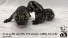 Naples Zoo is celebrating the birth of two endangered clouded leopard kittens. Clouded leopards are listed as endangered by the US Fish and Wildlife Service . Leopard Kitten, Clouded Leopard, Cute Kitten Gif, Kittens Cutest, Naples Zoo, Leopards, Endangered Species, Habitats, Wildlife