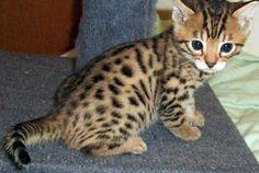 Teacup Munchkin cat | ... kittens egyptian mau kittens exotic shorthair kittens munchkin kittens