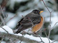 Winter robin in snow