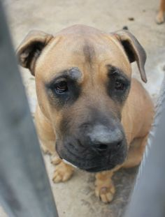 This girl's eyes will make you melt!  She was still in the animal shelter when these pictures were taken.  She seems to be very nice, and there was another dog in with her, so apparently she gets along with other dogs.  Approximately 75 -80 pounds. ...