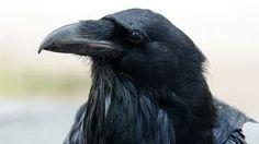 """ANIMAL TOTEM : le Corbeau / Le Corbeau, tout comme d'autres animaux ( dont le Loup ), n'a acquis une symbolique négative que récemment et quasi uniquement en Europe. Vu en rêve, il est censé être un oiseau de mauvaise augure, et les romantiques voient surtout en lui l'oiseau noir qui vole au dessus des champs de bataille pour se nourrir des cadavres ( c'est ici l'aspect charognard du Corbeau qui est """"diabolisé"""" )"""