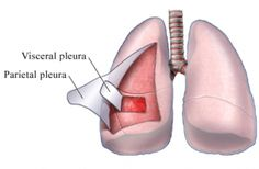 Membrana serosa que recubre las paredes de la cavidad torácica y los pulmones, ademas permite el correcto movimiento de los pulmones cuando se contraen y relajan. Existen dos tipos de pleura: la visceral que es la que cubre la parte interna y la parietal que cubre la parte externa.