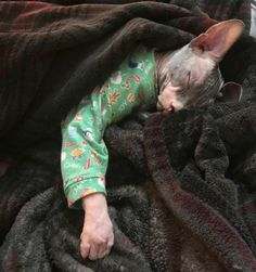 Sphynx cat is a special breed of cats that constantly need warmth. I present to you 15 warm clothes for Sphynx cats. I Love Cats, Cute Cats, Funny Cats, Crazy Cat Lady, Crazy Cats, Cute Hairless Cat, Sphynx Cat Clothes, Cats In Clothes, Cat Clothing