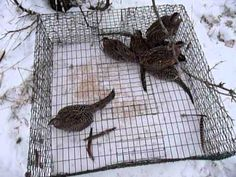 Pheasant Trapping - Big Catch - Multiple Birds