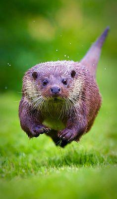 Otter on the run