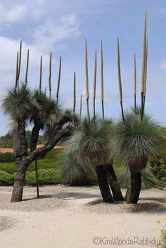 The Australian Garden Cranbourne - Stage Two Open Iconic Xanthorrhoea - AKA grass trees are dramatic Australian Wildflowers, Australian Native Flowers, Australian Plants, Australian Icons, Unique Trees, Unusual Plants, Exotic Plants, Trees And Shrubs, Trees To Plant