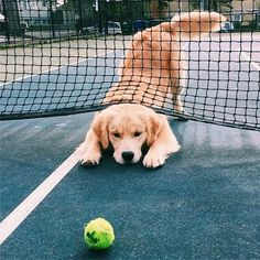 Astonishing Everything You Ever Wanted to Know about Golden Retrievers Ideas. Glorious Everything You Ever Wanted to Know about Golden Retrievers Ideas. Animals And Pets, Baby Animals, Funny Animals, Cute Animals, Funny Pets, Golden Retriever Mix, Retriever Puppy, Golden Retrievers, Cute Puppies