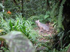 Tropical gray fox Monteverde, Costa Rica | photo by Gina Bang, Avanti Destinations