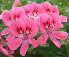 Lara Starshine flower